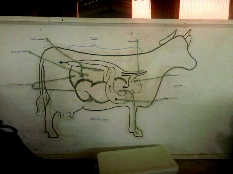 Cow Digestive Tract: The Cow's Stomach